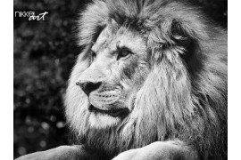 Sterk contrast zwart-wit van een leeuw