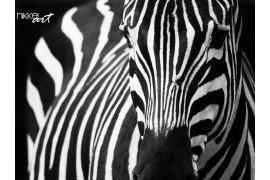 Zebra close-up ogen