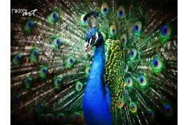 Mooie peacock