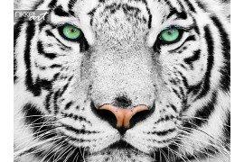 Prachtige Sumatraanse tijger