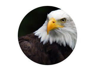 American Bald Eagle (Haliaeetus leucocephalus)