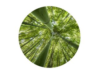 bamboo forest - fresh bamboo background