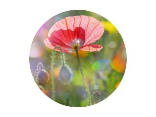 summer meadow with red poppies