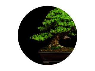 Traditional japanese bonsai (miniature tree) on a table with black background